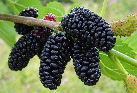 mulberry.jpg